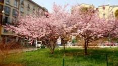 alberelli rosa